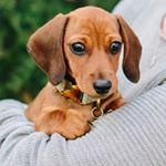 Two Miniature Dachshunds 💙 my_little_sausage